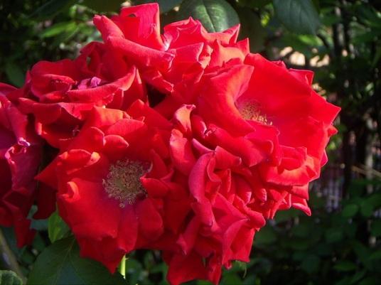 rome rose 4.jpg