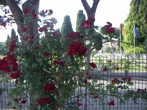 rome rose 5