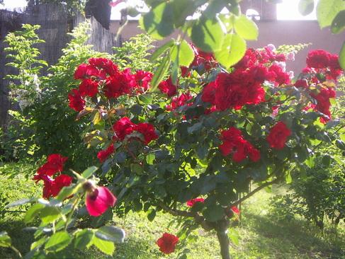 rome rose 8