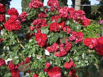 rome rose 88